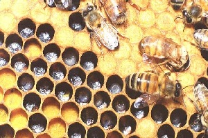 [IMAGE of Apis mellifera]