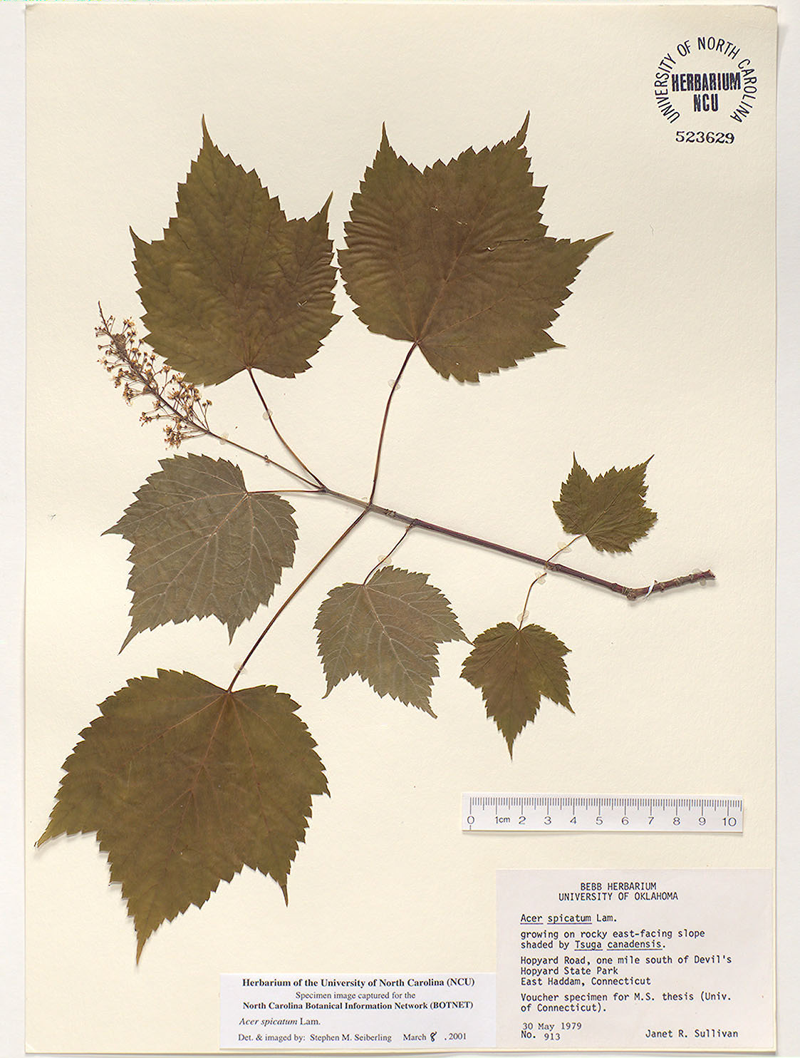 Plant Information Center Acer Spicatum