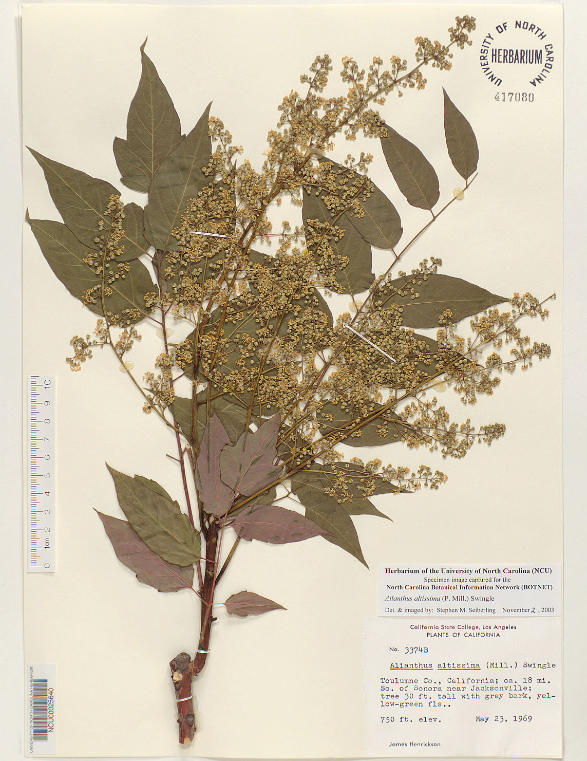 Plant Information Center Ailanthus Altissima