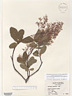 Herbarium sheet image thumbnail
