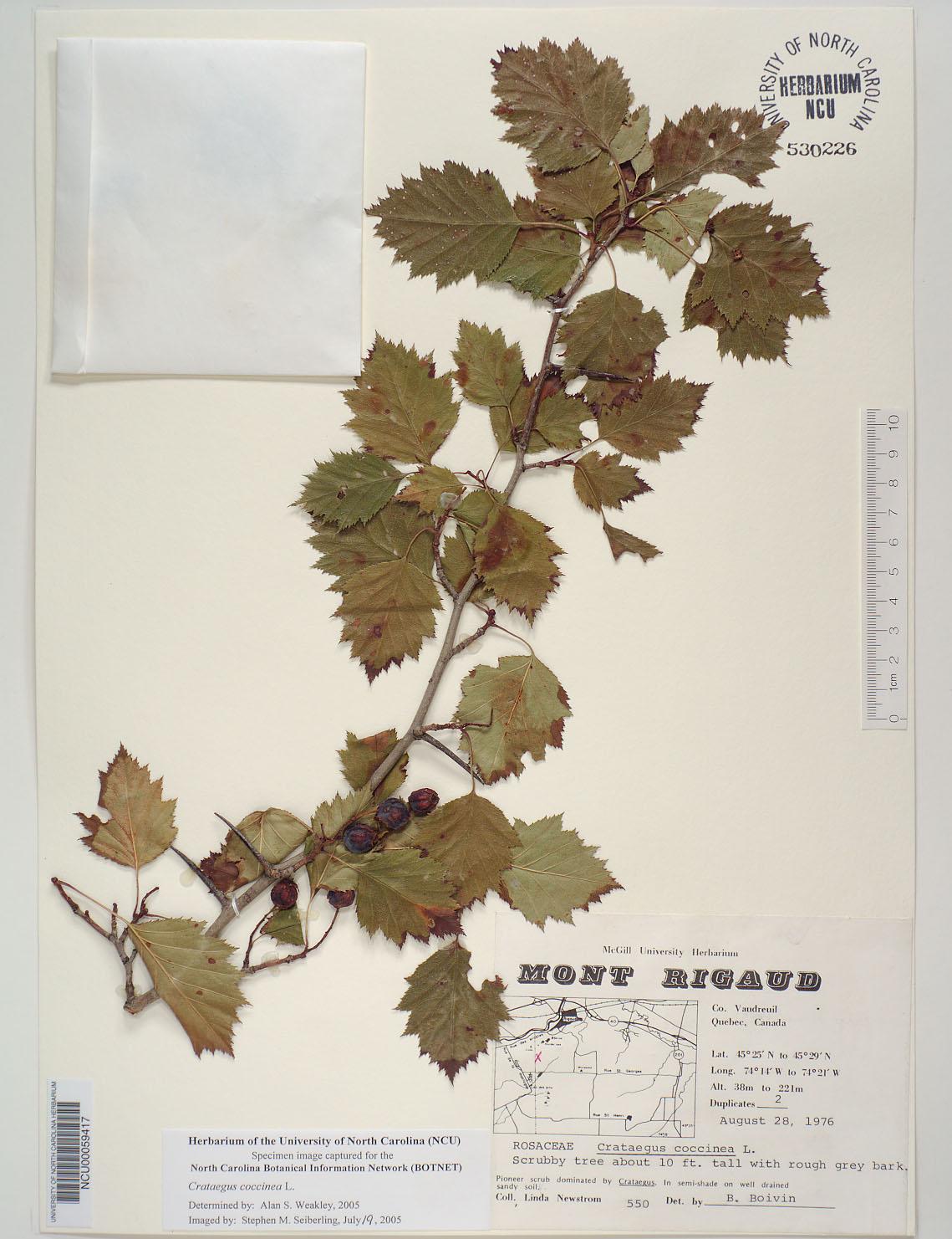 Plant Information Center Crataegus Coccinea