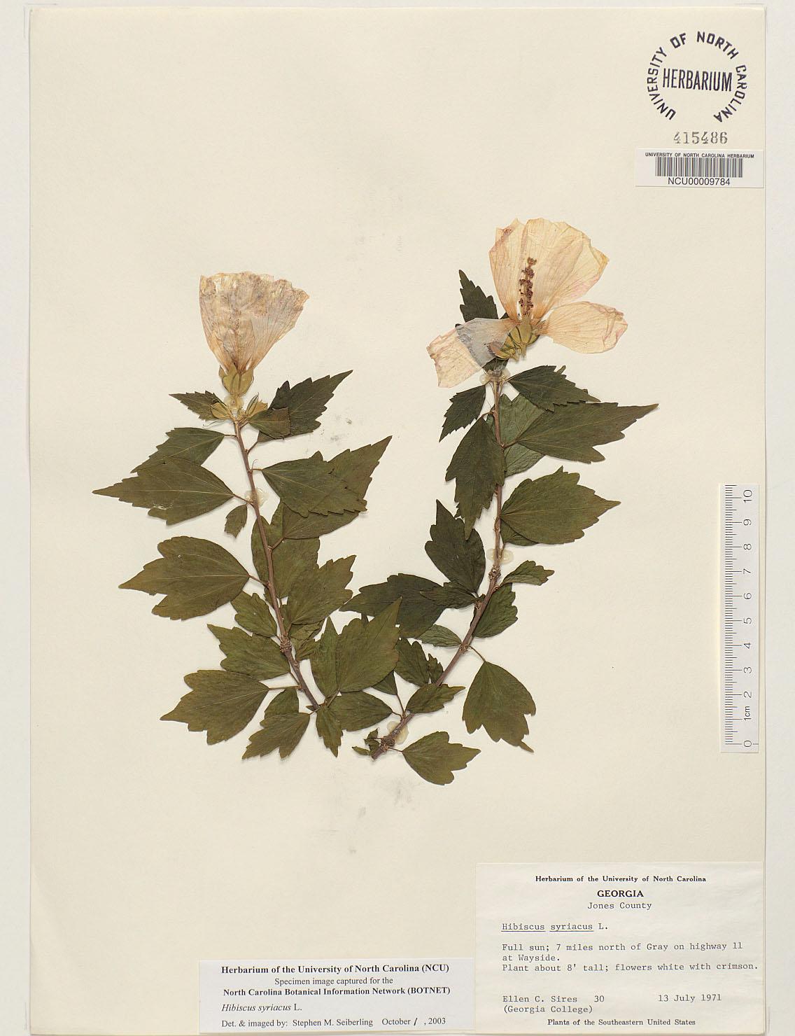 Plant information center hibiscus syriacus herbarium sheet image thumbnail herbarium sheet image thumbnail izmirmasajfo
