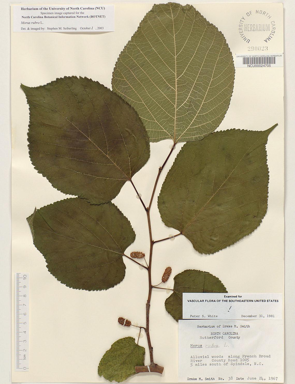 Plant Information Center Morus Rubra