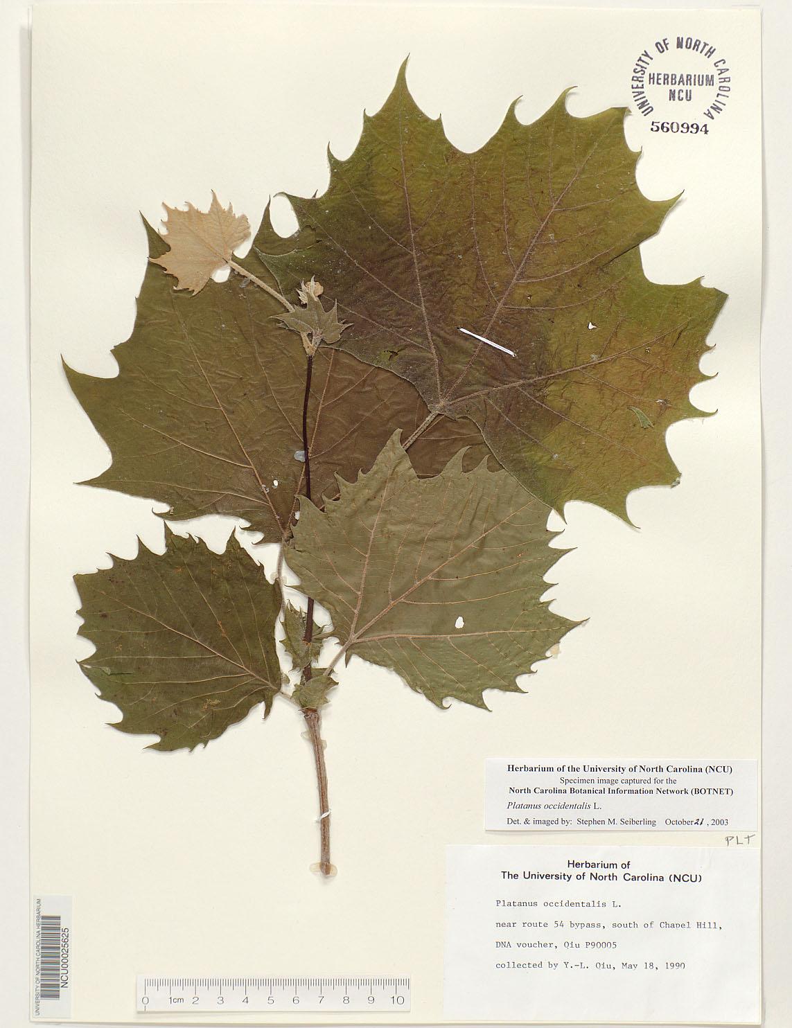 Platanus Occidentalis Leaf Platanus occidentalisPlatanus Occidentalis Leaf