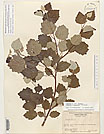 Herbarium sheet image thumbnail