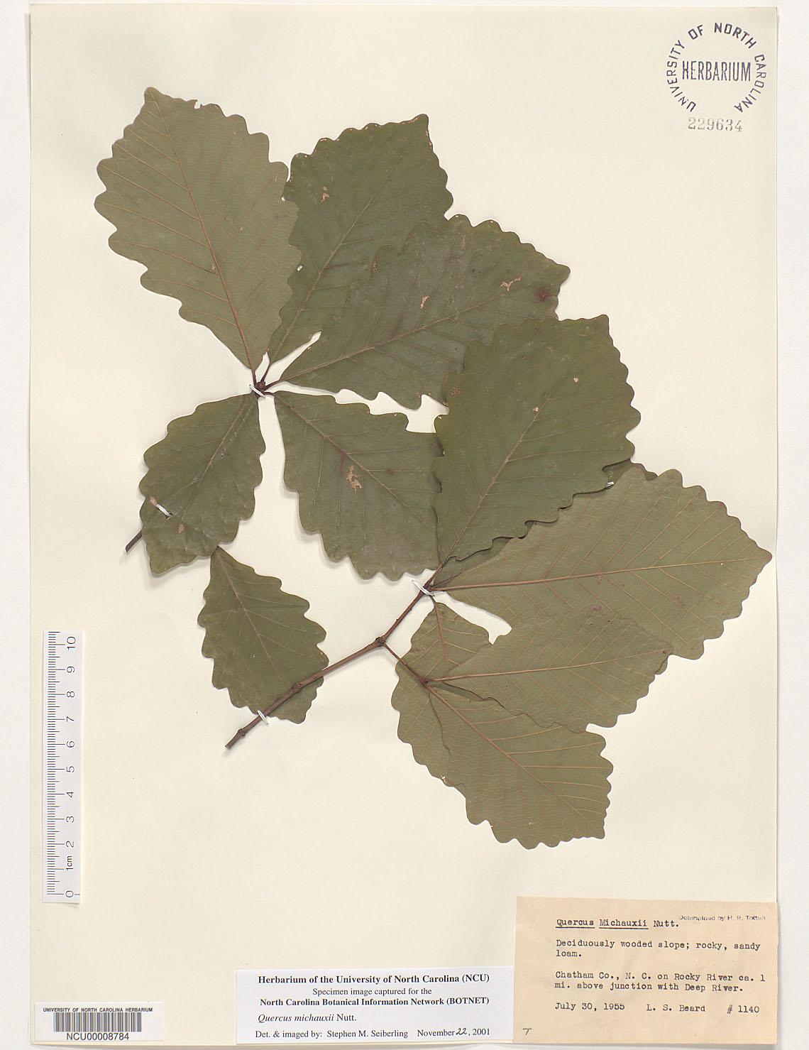 Plant Information Center Quercus Michauxii