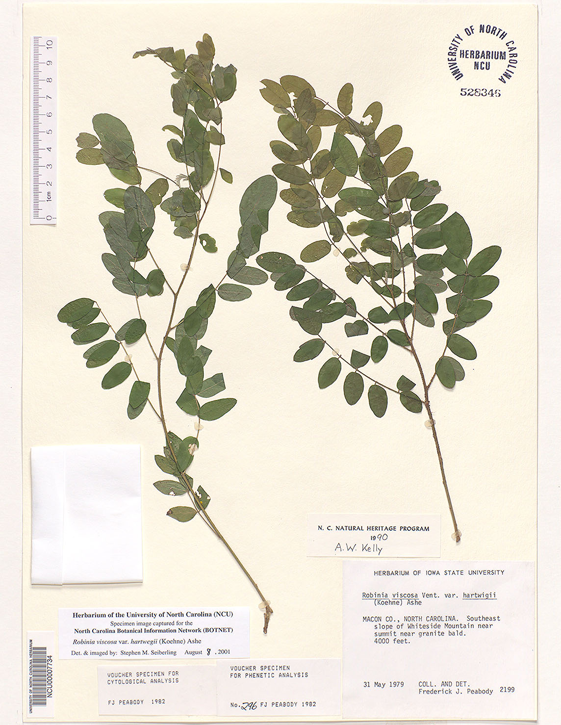 Clammy Locust (Robinia viscosa)