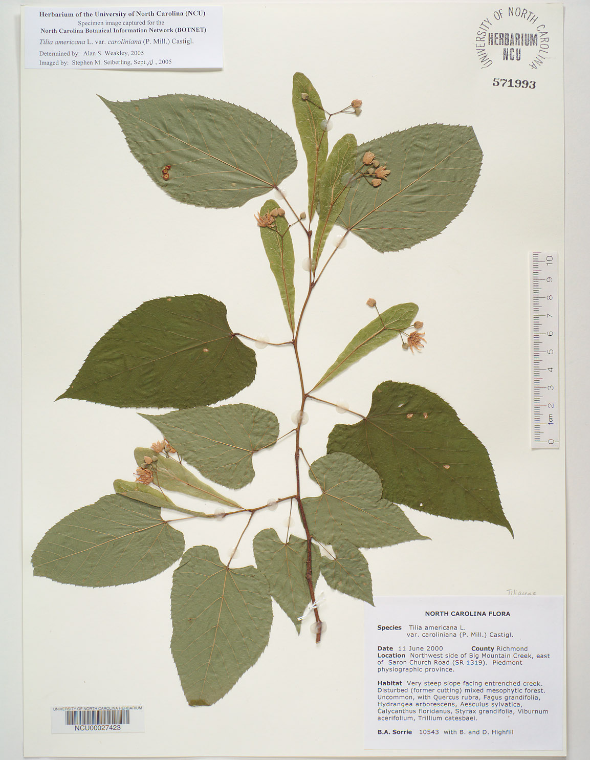 Plant Information Center Tilia Americana Var Caroliniana