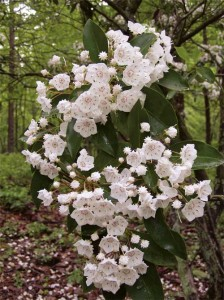 mountain-laurel-flowers