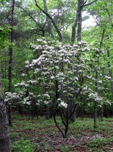 mountain-laurel-tree