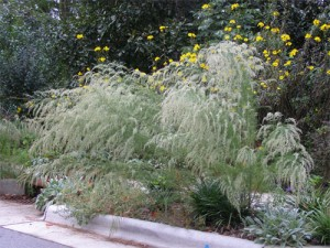 Dog-Fennel-curb-garden