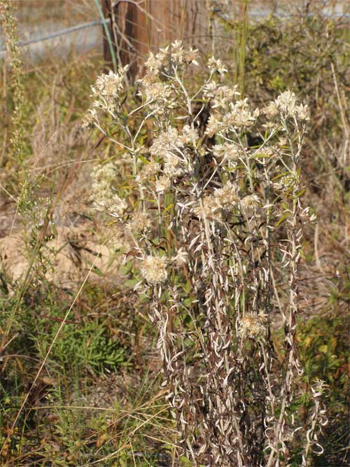An engaging herb, rabbit tobacco |
