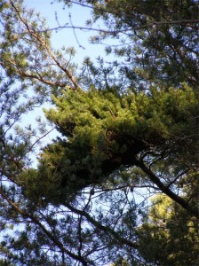 Witch's-broom-in-scrub-pine