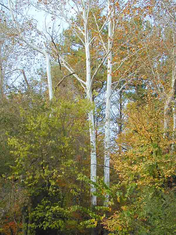 The brilliant white trunks of the mighty sycamore stand out in the landscape. Photo by Peter White.