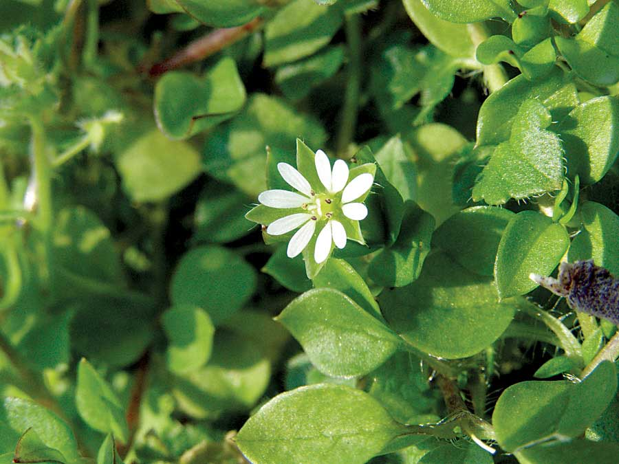 Chickweed flower has five rabbit ear-like petals. Photo by Ken Moore.