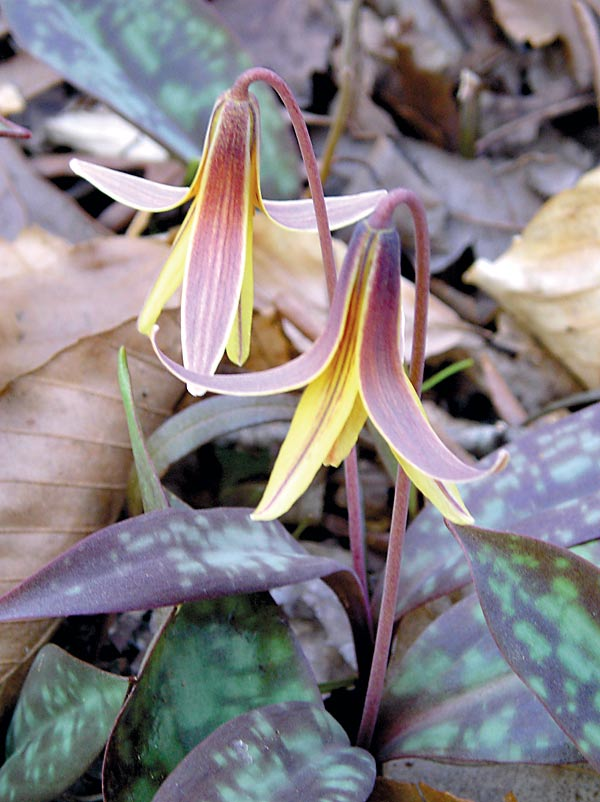 You have only a couple of weeks to catch the fleeting Trout Lily. Photo by Dave Otto