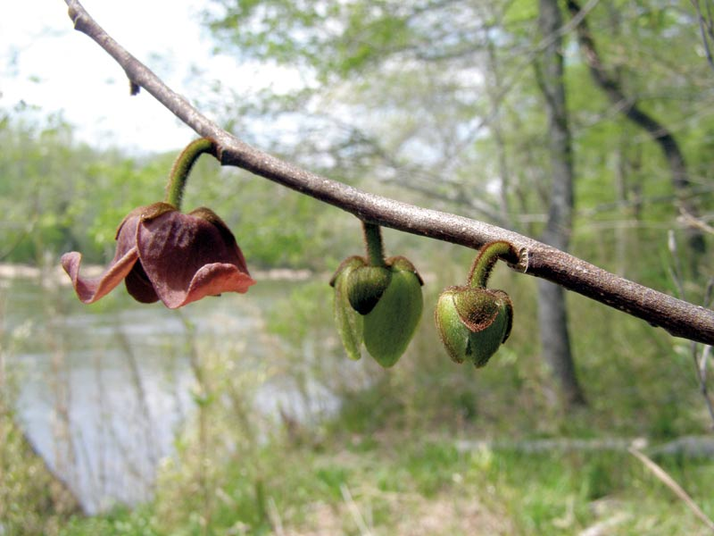 Pawpaw flowers along the Haw River. Photo by Ken Moore.