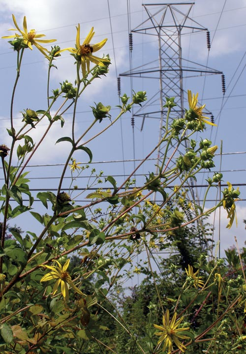 Silphium, rosinweed, standing tall in the power line right-of-way in west Carrboro. Photo by Ken Moore.
