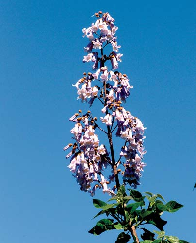 Don't succumb to the beauty of paulownia flowers in the spring. Photo by Ken Moore.
