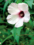 Halberd-leaved swamp mallow remains fully open for one day. Photo by Ken Moore.