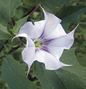 Photo by Ken Moore. Jimson weed flower opens in the late afternoon and continues through the night.