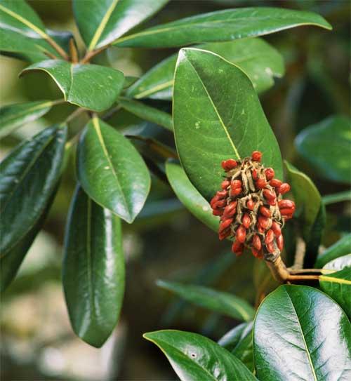 magnolia tree facts. magnolia tree facts. southern magnolia tree leaves. southern magnolia tree leaves. growlf. Mar 31, 03:50 PM