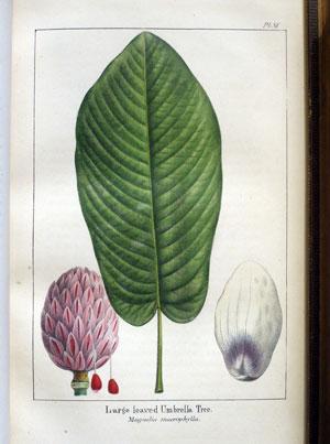 PHOTO BY KEN MOORE. Famed botanical illustrator Redouté's rendering of Magnolia macrophylla