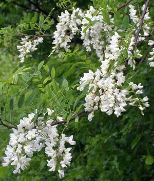 No its not white wisteria black locust flowers mightylinksfo