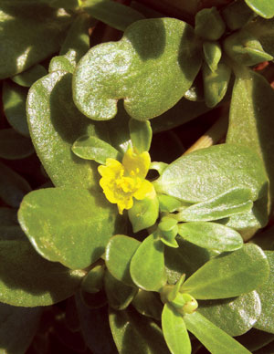 Tiny Yellow Flowers Nestled In Amongst All The Succulent Leaves Photo