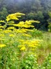 Beautiful goldenrods, which don't cause hay fever, will brighten our roadsides through the fall. Photo by Ken Moore