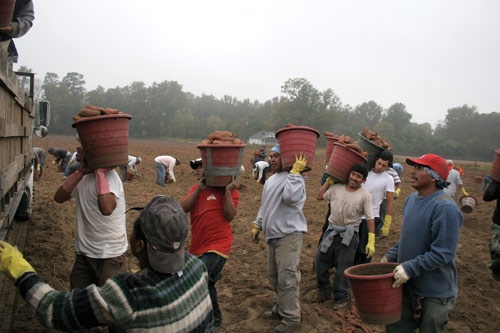 Harvesting sweet potatoes, from Minnow Media's Harvest of Dignity. Photo by Peter Eversoll