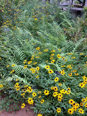 Black-eyed Susan blooms and southern shield fern fronds contrast nicely with one another. PHOTO B MATT GOCKE