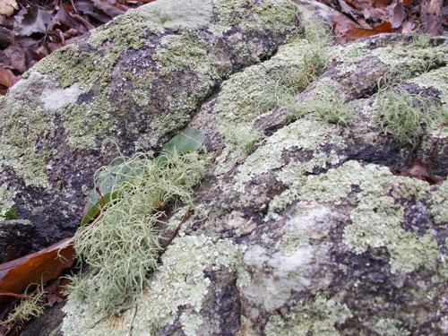 What are lichens |