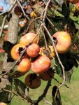 One of many fruitful persimmon trees in town and surrounding rural areas. Photo by Ken Moore