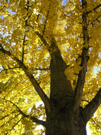 Ginkgo trees have fantastic autumn foliage. Photo by Peter Del Tredici