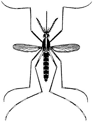 anatomy of aedes mosquito