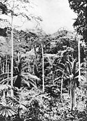A forest with oil palms, near Ganda