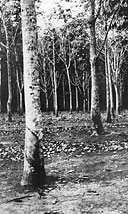 Rubber trees of the Belgian Congo