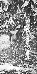 Cocoa tree of the Lukolela plantation