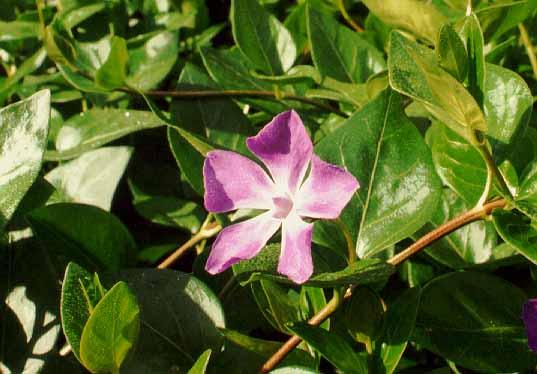 Plantas para lugares secos y sombr os for Arboles que dan sombra para jardin