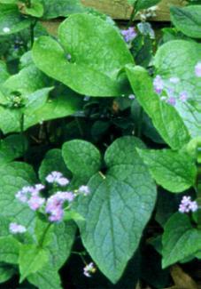 Curiosas plantas - Plantas de hojas grandes y verdes de exterior ...
