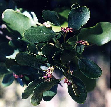 Plantas para lugares secos y sombr os for Planta ornamental blanca nieves