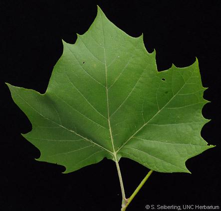 Platanus occidentalis LinnaeusPlatanus Occidentalis Leaf