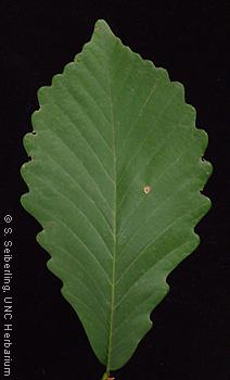 Plant Information Center - Quercus montana