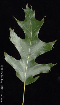 Plant Information Center - Quercus velutina