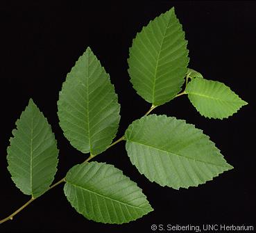 Ulmus Rubra Leaf