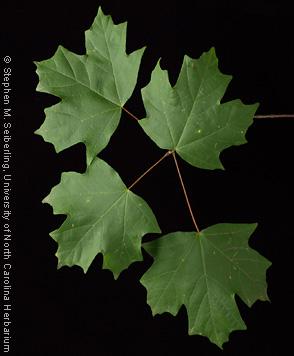 Common Trees Of The North Carolina Piedmont Acer Barbatum Michx