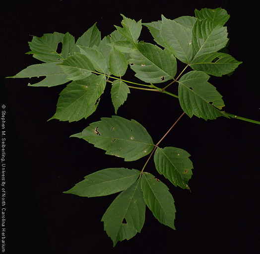 Common Trees Of The North Carolina Piedmont Acer Negundo L Box