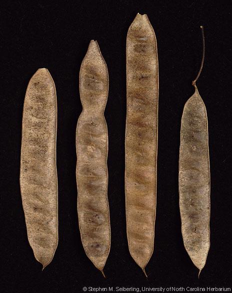 Identificación de especie Albizia_julibrissin_fruits01