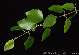 Common Trees Of The North Carolina Piedmont Betula Nigra